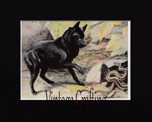 The Belgian SchipperkeFrom paintings by Louis Agassiz Fuertes
