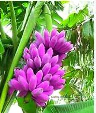 200pcs rare banana seeds,Organic Heirloom seeds,plant for home garden