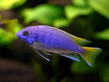 Yellow Tail Acei Mbuna Cichlid, African Cichlids, Buy Live Fish, Free Shipping