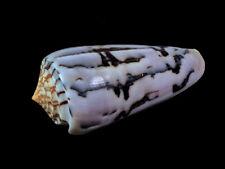 Conus gubernator, Tulear, Madagascar, 66,2 mm, DELICIOUS PATTERN