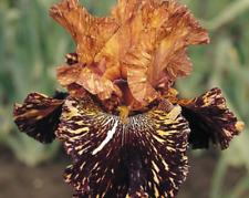 2 BULBS ROOT BROWN TIGER IRIS Flower Rare Heirloom Iris Tectorum PLANT NOT Seeds