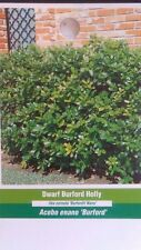 Dwarf Burford Holly Shrub 3 gal. New Live Healthy Hedge Plant Landscaping Tree