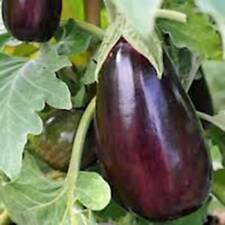 EGGPLANT SEED, BLACK BEAUTY, HEIRLOOM, ORGANIC, NON GMO, 25+SEEDS, VEGETABLE