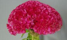 Dark Pink Huge Brain Celosia!  50 SEEDS! 2-4 ft. tall Comb.S/H! OLD AMISH PLANT!