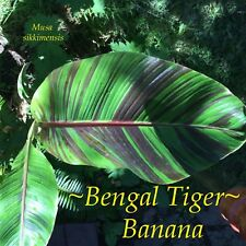~BENGAL TIGER~ Musa sikkimensis Variegated COLD-HARDY BANANA small potd PLANT
