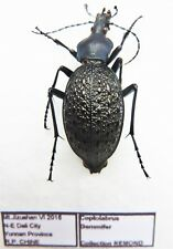 Carabus coptolabrus gemmifer (female A1) from CHINA (Carabidae)