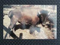BISON WISENT BUFFALO alte Ansichtskarte / old picture postcard c2334