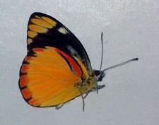 IXIAS VOLLENHOVENI unmounted butterfly