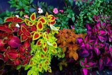 Coleus Solenostemon 'Rainbow Masterblend' Fresh 60 Seeds