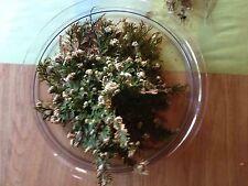 Die Rose von Jericho, Auferstehungspflanze, Wunderpflanz, Geburtstag, Ostern,
