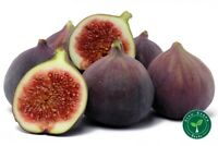 20 seeds of Black Fig - FICUS CARICA - Common Fig + GIFT 5 seeds of Sunflower