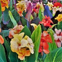 Spectacular Canna Lily Phasion Bonsai Bulbs Perennial Roots Rhizome Beautifying