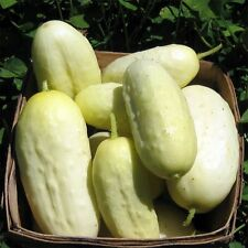 BAMBINO BLANCO DWARF WHITE CUCUMBER PERFECT FOR POTS EXCELLENT PICKLING VARIETY