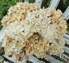 10 Dried Hydrangea Flower Antique Cream Mixed Lot Wedding Rustic Farmhouse Decor