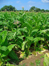 New Listing1,000 Virginia Tobacco Seeds Organic propagated Indiana 11yrs+ 2020 bulk pest