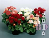 Flower - Bellis perennis - Monstrosa Enorma Mix - Appx 200 seeds - Orig. Pack_18