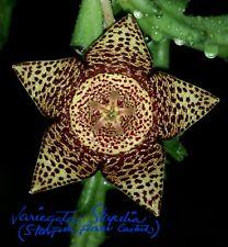 Rare Variegata Stapelia, Orbea Variegata, Starfish Flower 6 cuttings Succulents.