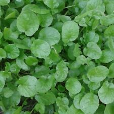 Land Cress - 25+ seeds - The Earliest Salad!