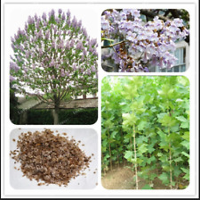 Paulownia Royal Empress 100 Pcs Seeds Tree Tomentosa Flowers Plants Garden New S