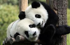 Incorniciato stampa-Panda's giocare negli alberi (animale selvatico Bear ASIATICI QUADRO ART)