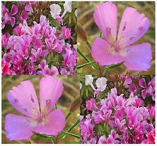 (3,000) GODETIA DWARF LILAC Flower Seeds - Clarkia amoena - Combined S&H