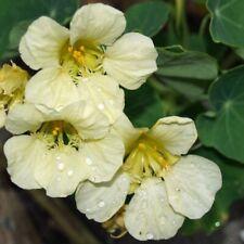 Nasturtium Yeti Flower Seeds (Tropaeolum Lobbianum) 20+Seeds