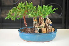 Zen BONSAI Juniper Tree Zen Garden With Pool Fishman Decoration Pot Indoor