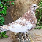 T28d Taxidermy Oddities Curiosities Standing Rock Pigeon bird collectible CL
