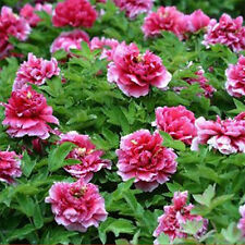 Competition Peony20 Seeds Chinese Peony Seeds Beautiful Garden Flower Blooming