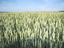 200 ORGANIC OAT Oats Avena Sativa Grain Seeds *Comb S/H