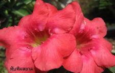 """ADENIUM OBESUM DESERT ROSE """"TUBTIMSIAM"""" 2 GRAFTED PLANTS RARE FRESH!!"""