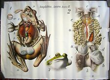 Vintage Zoological Chart of a Frog