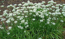 Garlic Chives Herb Seeds - Garden Seeds - Bulk