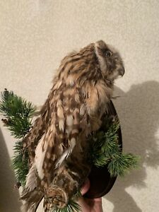 "Taxidermy  ""OWL"" . Stuffed OWL. Real Bird"