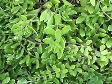 20 Sedum Sarmentosum, Fast Growing, Creeping, Perennial, Live Plants