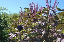 2000 seed red Holy Basil Seeds THAI Vegetable fragrant cooking herb tea