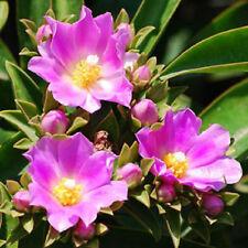 """Pereskia grandifolia exotic rare succulent cacti bonsai caudex plant cactus 4"""""""
