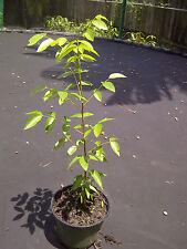 """West Indies Mahogany (Swietenia Mahogani) 12"""" or higher Tree"""