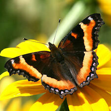 ONE WINGS CLOSED MILBERTS TORTOISESHELL AGLAIS MILBERTI BUTTERFLY WINGS CLOSED