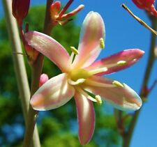 Hesperaloe Campanulata @J@ exotic succulent rare Bell Flower Yucca aloe 25 Seeds
