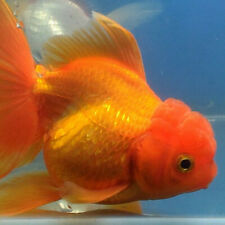 Live fish Oranda Fancy Goldfish adult red white
