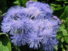 Floss Flower Market Growers Blue Seeds Annual Tolerates Hot Humid & Cool Weather