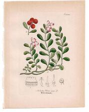 Antique Botanical Print Arbutus Uva Ursi Artus-Kirchner-1876