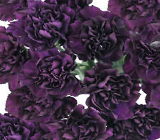 "Carnation double ""king of the Black"" 100 cottage garden seeds great cut flower"