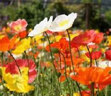 POPPY 'Iceland Excelsior Mix' 750 seeds flower garden