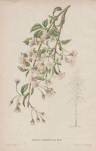 Botanical Flower Bloom Prunus Subhirtellus J.B. Wolters 1890 Antique Art Print