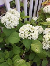 White Flowered Hydrangea ANNABELLE Perennial Plant Shrub Bush