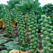 Vegetal COL DE BRUSELAS Temprano Medio Alta Aprox 150 Semillas