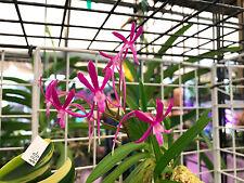 Neo. falcata hybrid/beautiful color flower(orchid)KOUYOU, KYO-BIJIN, Beni-kaede