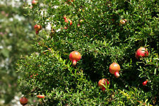 pomegranate wonderful fruit tree plant 1x20cm tall seedling  Punica granatum